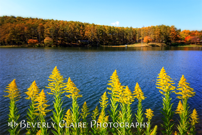 Canada Goldenrod and Lake in Autumn