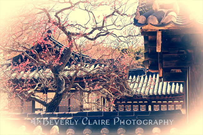 Traditional Korean House with Pink Plum Blossoms
