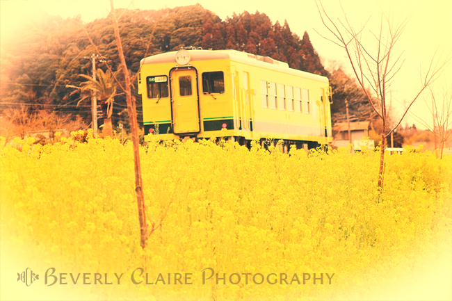 Bright Yellow Train and  Cheerful Field Mustard