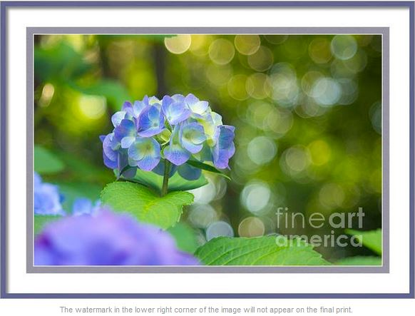 Violet Hydrangea with Green Leaves and Bokeh Lights by Beverly Claire
