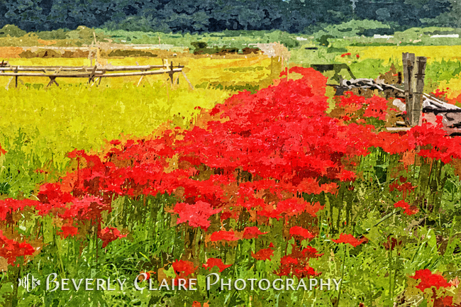 Painterly Red Spider Lilies with Rice Field