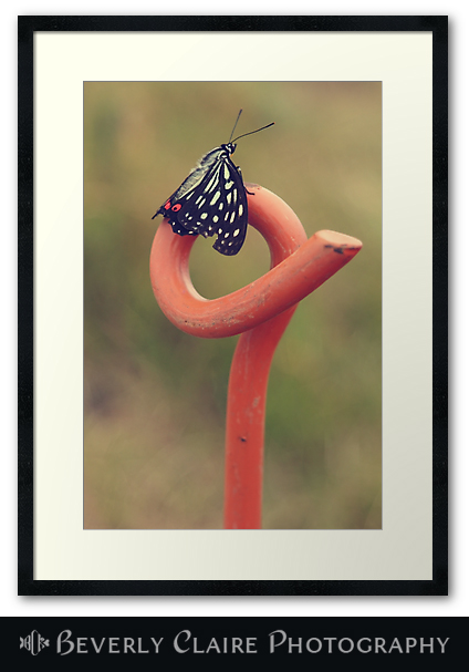 Black Butterfly with White and Orange Markings on Metal Pole