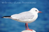 Red-beaked Seagull Resting On The Port
