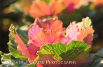 Green and Pink Ornamental Cabbage in Afternoon Sunlight