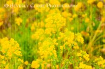 Field Mustard Flowers With Wooden Planks