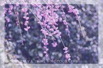 Pink Plum Blossoms with Violet Tones