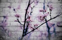 Grunge Cherry Blossoms Over White Brick Wall