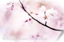 Trio of White Cherry Blossoms in the Sunlight