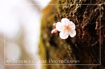 Single Cherry Blossom Blooming from Tree Trunk
