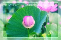 Tranquil Pink Lotus Bud with Green Leaf