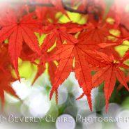 Vivid Autumn Maple Leaves with White Bokeh