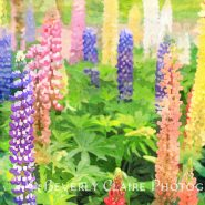 Each Day is a New Beginning Colorful Lupin Flowers