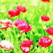 Field of Painterly Red and Orange Poppies