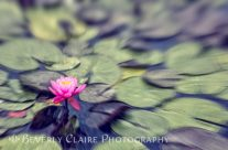 Lovely Tranquil Pink Water Lily on Painterly Pond