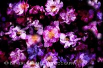 Abstract Painterly Pink and Purple Wild Roses