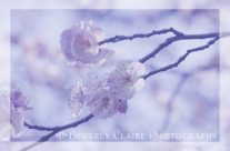 White & Pink Plum Blossoms with Violet Tones