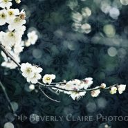 White Plum Blossoms with Blue Green Brocade Background