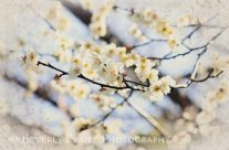 White Plum Blossoms With Vintage Brocade Corners