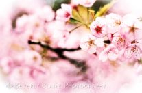 Cherry Blossoms in Spring When Nature Resumes Her Loveliness