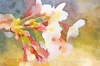 White Cherry Blossoms Digital Watercolor Series