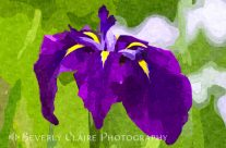 Painterly Purple Single Iris Flower in Early Summer