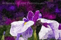 Painterly Purple And White Iris Flower In Early Summer