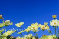 Lovely Yellow Cosmos Flower Field with Clear Blue Sky