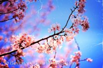 Lovely Soft Pink Cherry Blossoms and Blue Sky