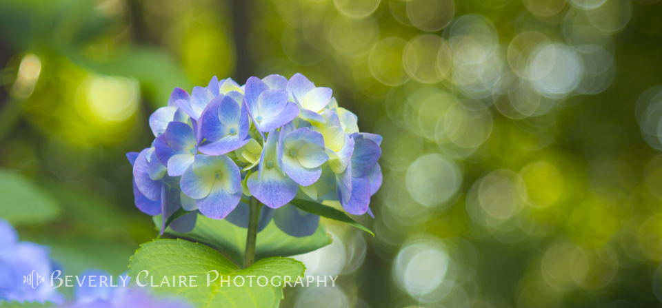 Violet Hydrangea with Green Leaves and Bokeh Lights