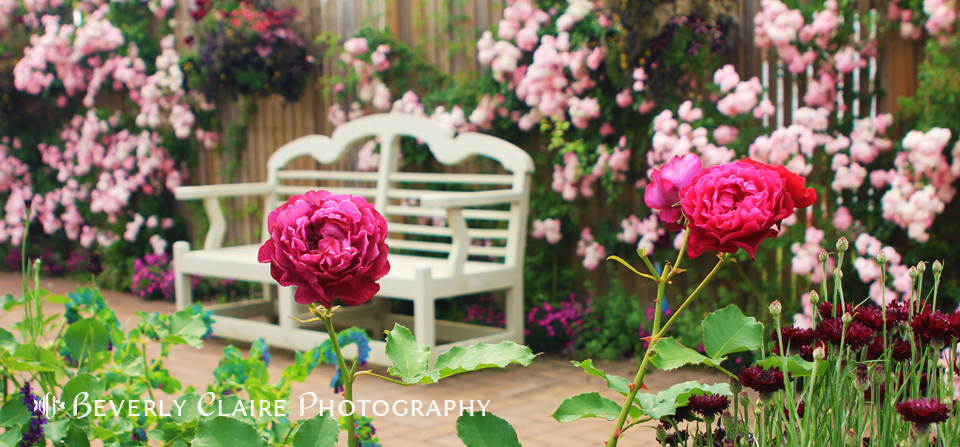 White Bench and Pink Climbing Roses in English Garden